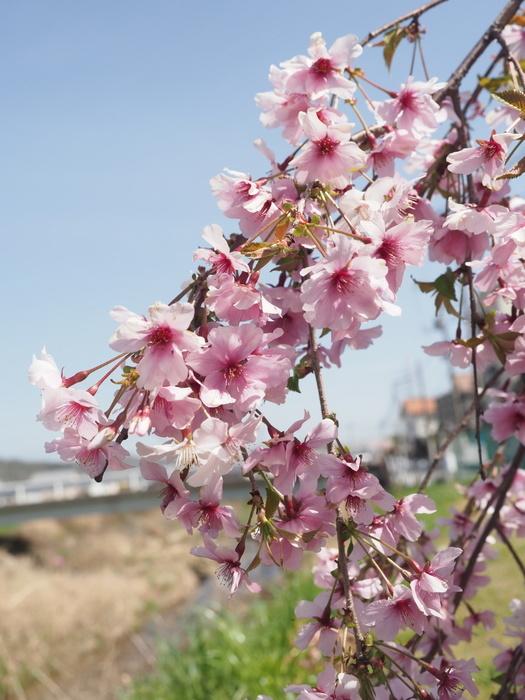 花散歩(石内川と八幡川沿い)_c0116915_00382085.jpg