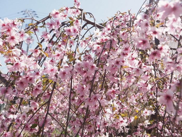 花散歩(石内川と八幡川沿い)_c0116915_00384472.jpg