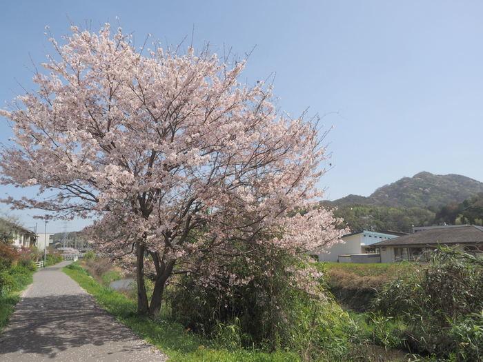 花散歩(石内川と八幡川沿い)_c0116915_00413649.jpg