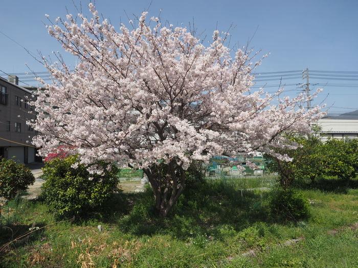 花散歩(石内川と八幡川沿い)_c0116915_00415502.jpg