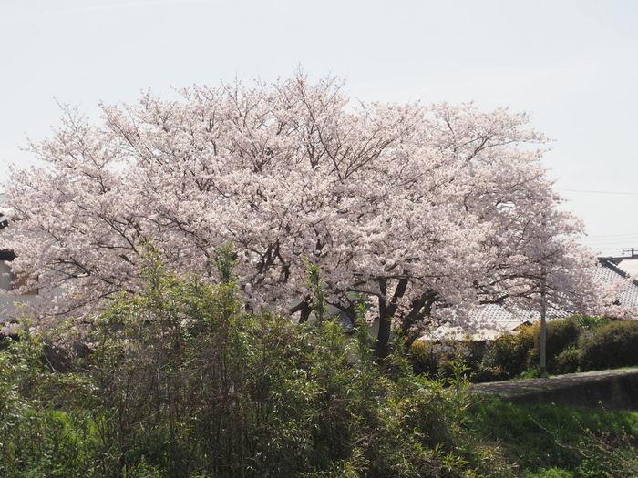 花散歩(石内川と八幡川沿い)_c0116915_00423960.jpg