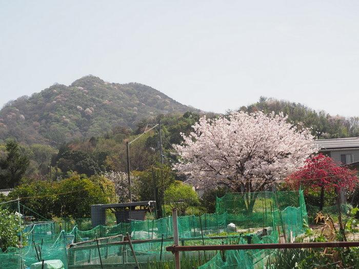 花散歩(石内川と八幡川沿い)_c0116915_00461235.jpg