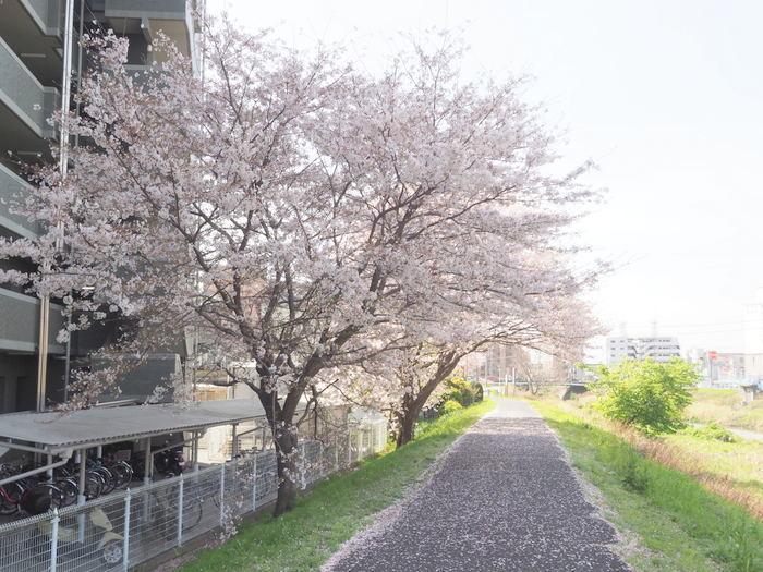 花散歩(石内川と八幡川沿い)_c0116915_00502351.jpg