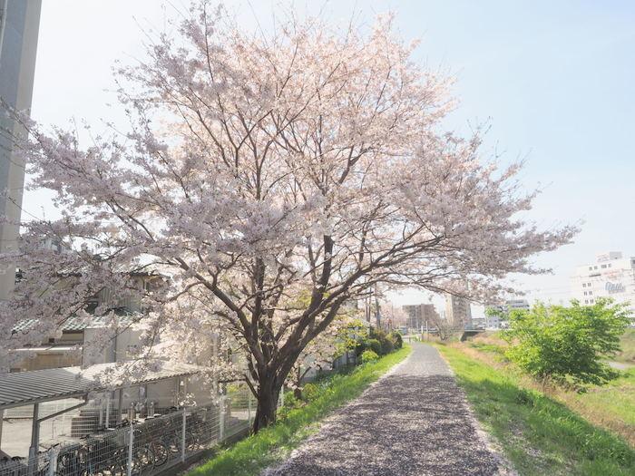 花散歩(石内川と八幡川沿い)_c0116915_00503998.jpg