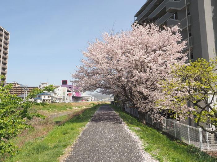 花散歩(石内川と八幡川沿い)_c0116915_00510881.jpg