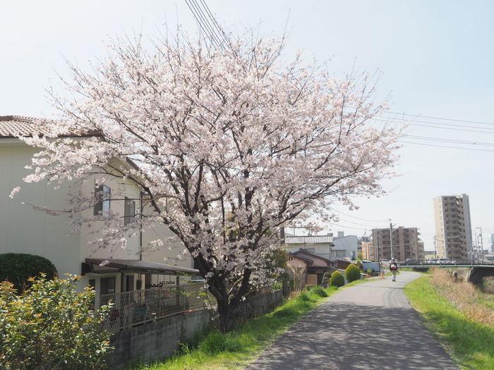 花散歩(石内川と八幡川沿い)_c0116915_00511991.jpg