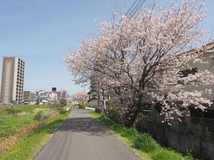 花散歩(石内川と八幡川沿い)_c0116915_00514646.jpg