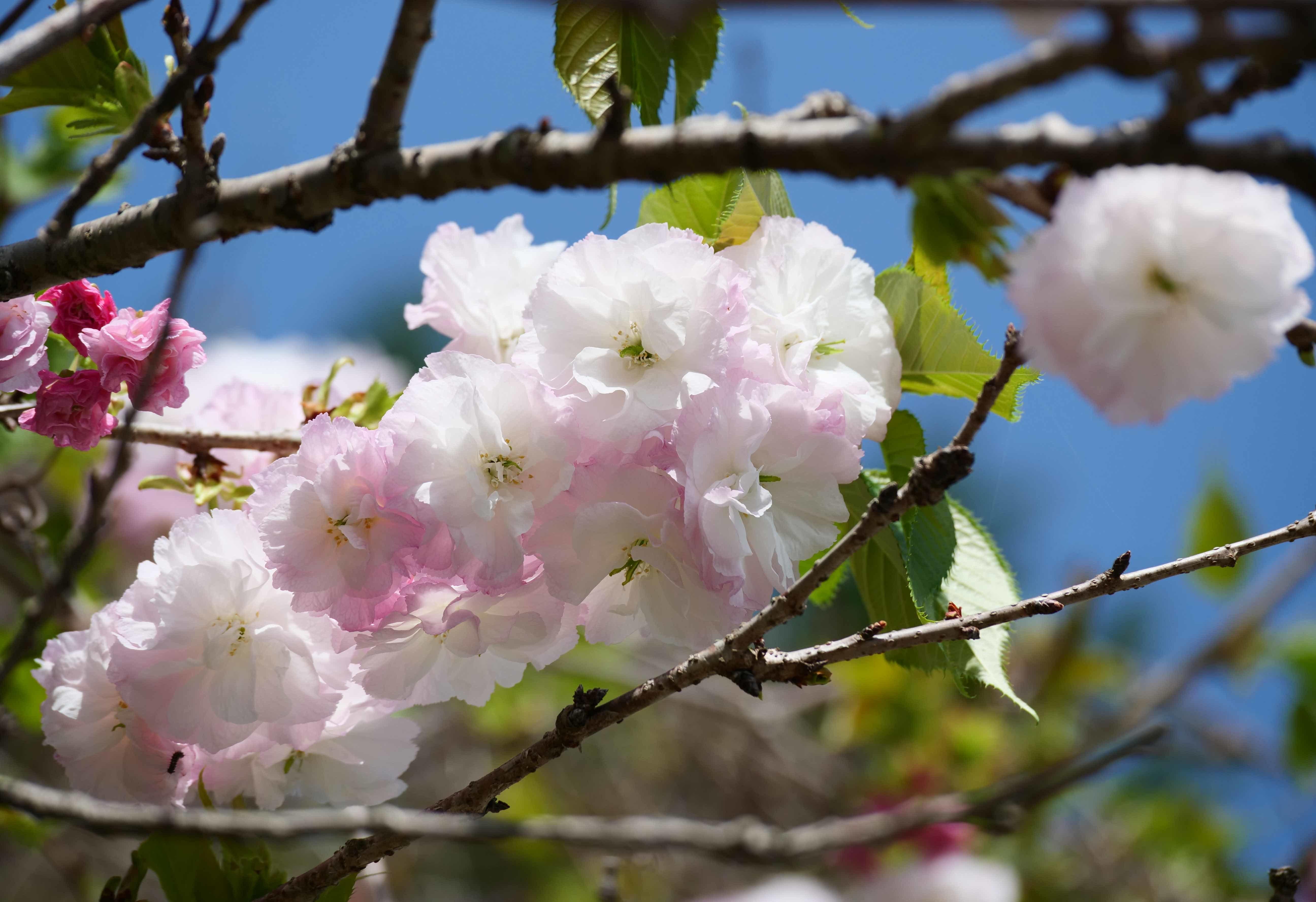 八重桜が咲いてきた_c0005030_10214258.jpg