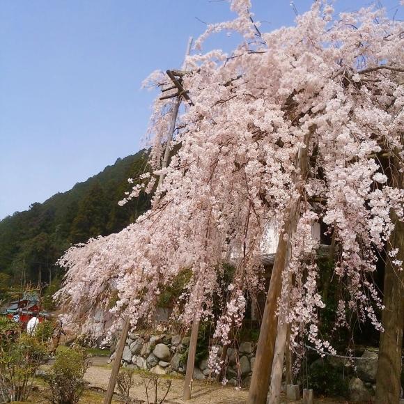 桜の季節いいね_f0343531_07020330.jpg