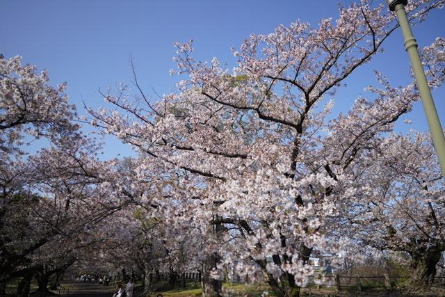 桜_b0028732_00003020.jpeg