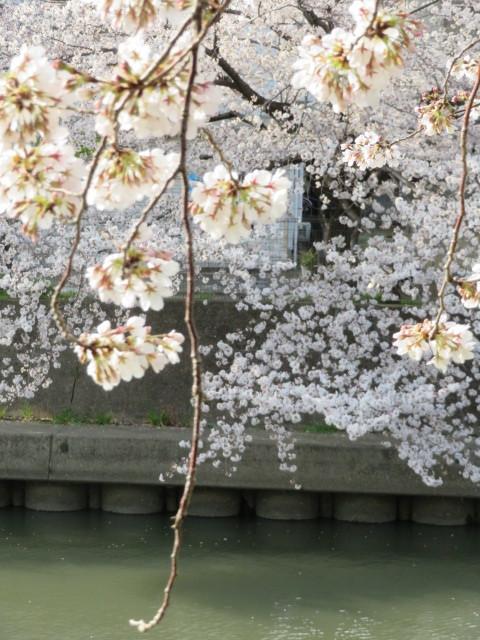 桜並木の散策コース・東京(竹の塚)~埼玉草加市(谷塚)界隈_f0329849_22101109.jpg