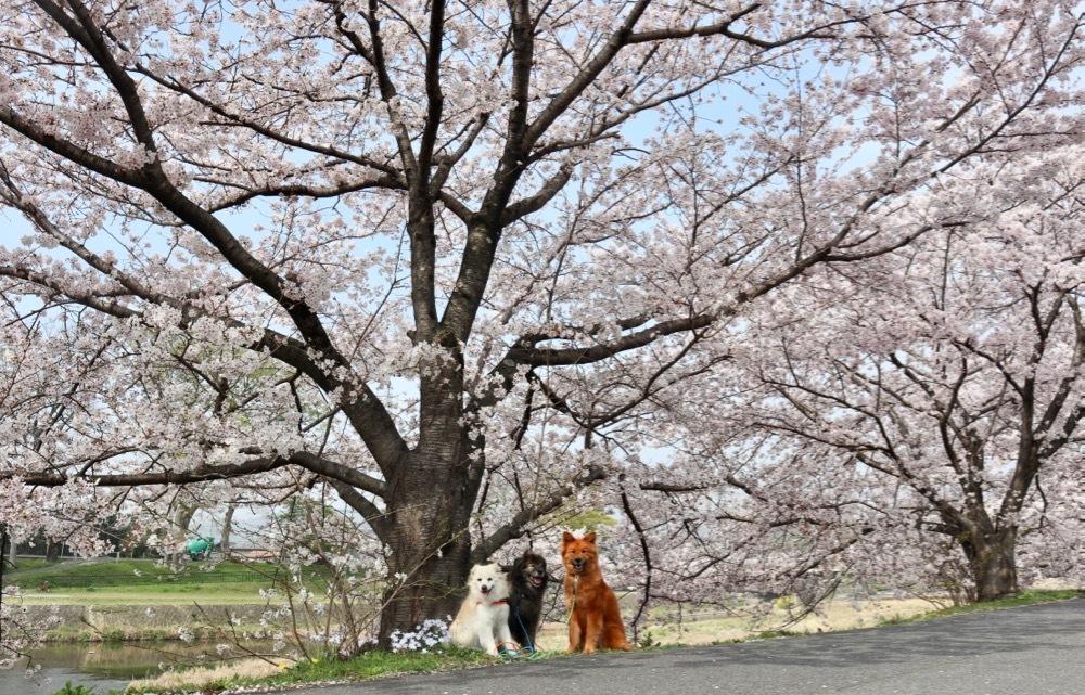 2021・桜 〜鴨川_a0119263_17050416.jpg