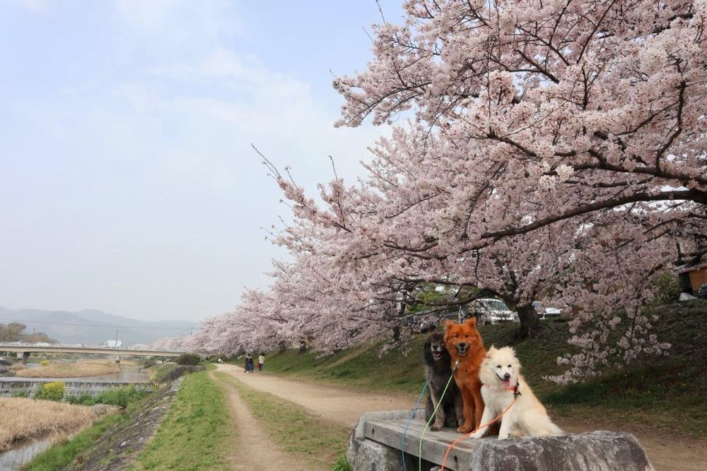 2021・桜 〜鴨川_a0119263_17050547.jpg