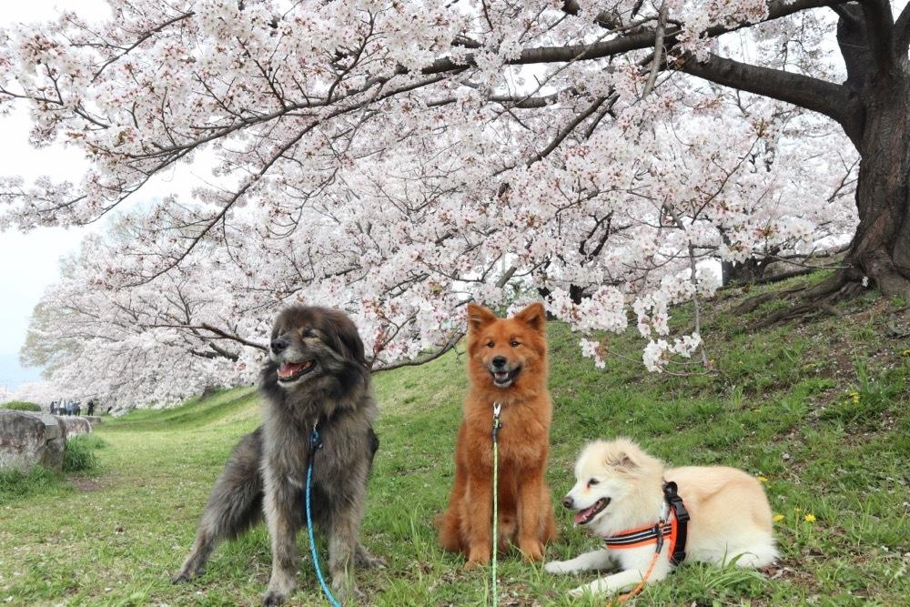 2021・桜 〜鴨川_a0119263_17050568.jpg