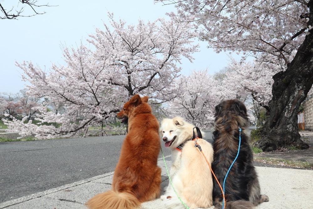 2021・桜 〜鴨川_a0119263_17050619.jpg