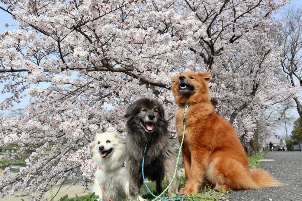2021・桜 〜鴨川_a0119263_17050675.jpg