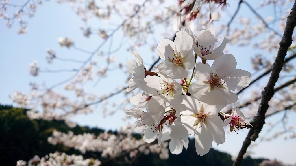 桜のように***_e0290872_18240908.jpg