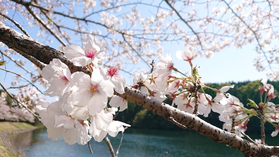 桜のように***_e0290872_18244164.jpg