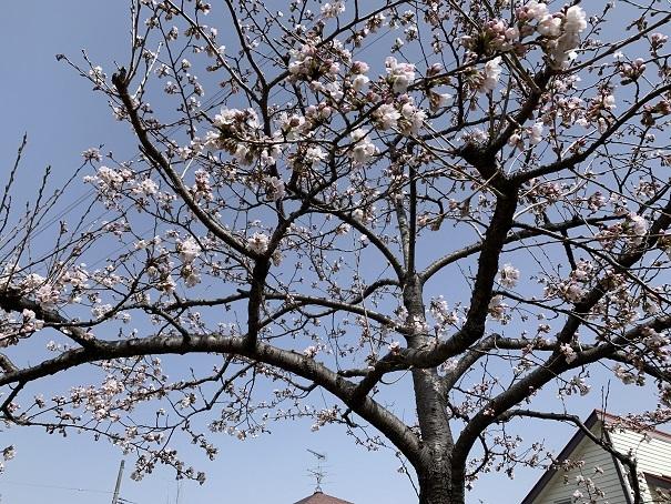 町内でも桜が咲きました_d0261484_08450293.jpg
