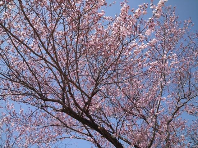春爛漫✿_f0147585_19151897.jpg