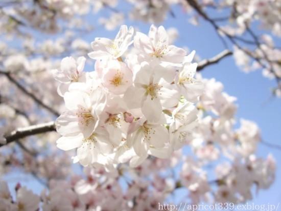 満開の桜と、芝生・TM9のメンテナンスの完了_c0293787_19555155.jpg