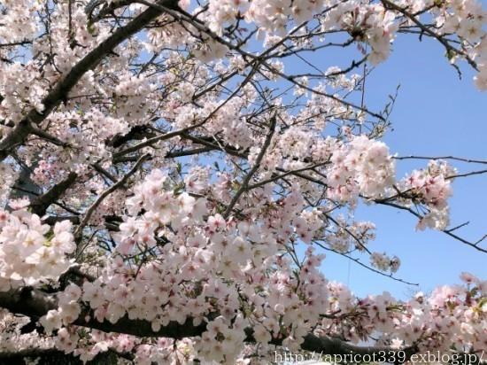 満開の桜と、芝生・TM9のメンテナンスの完了_c0293787_19561542.jpg