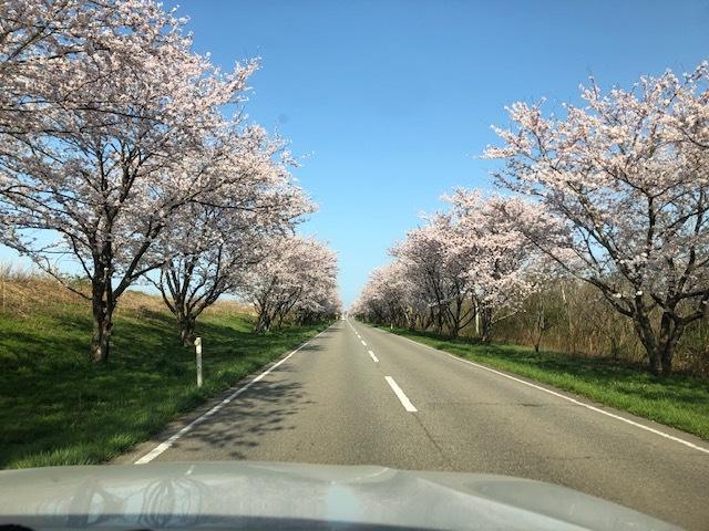 満開の桜_e0183792_18331151.jpg