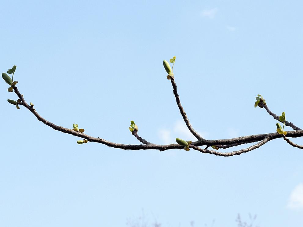 冬芽の展開(2) ユリノキ_d0163696_18445895.jpg