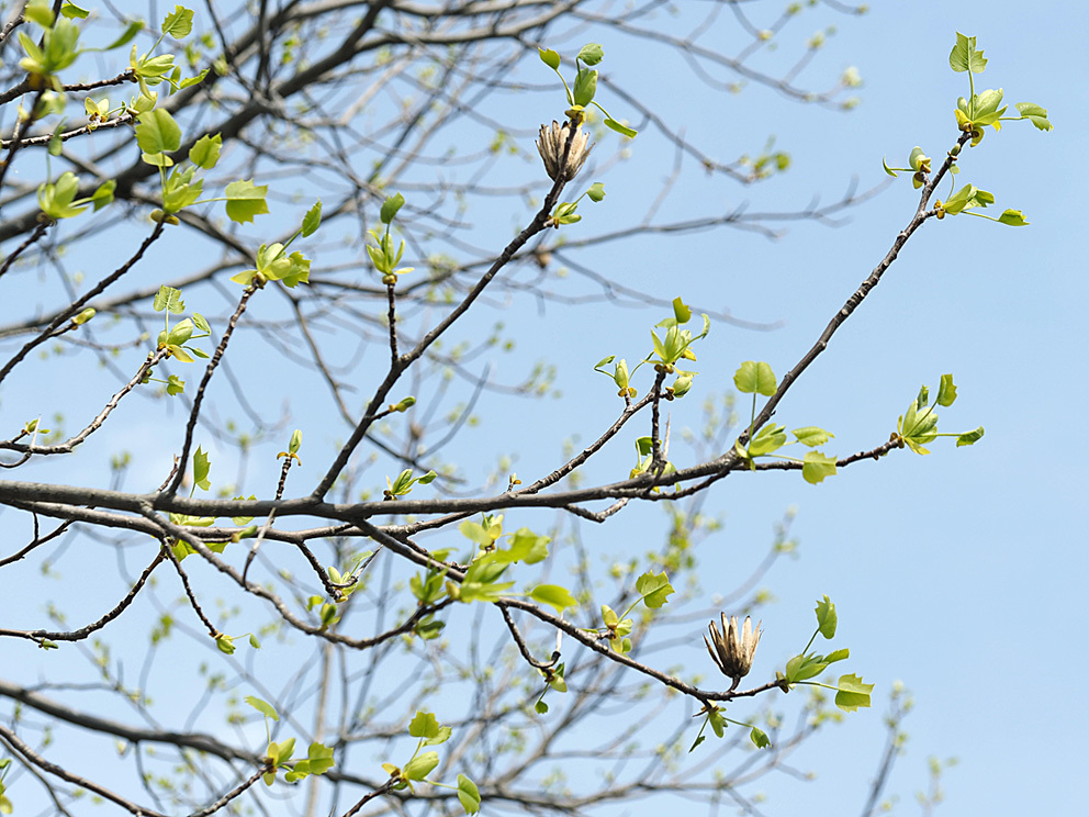 冬芽の展開(2) ユリノキ_d0163696_18452622.jpg