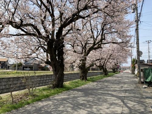 2021年、桜満開★_c0113001_18550880.jpg