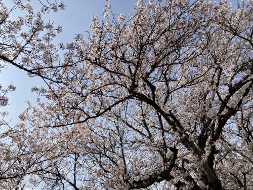 2021年、桜満開★_c0113001_18552574.jpg