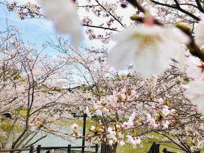 桜のシフォンケーキ_b0102217_12212698.jpg