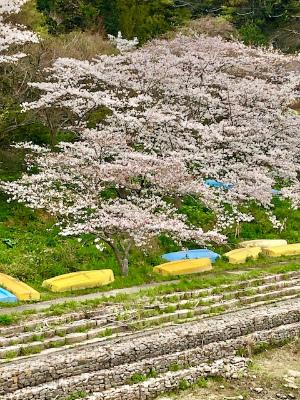 桜のシフォンケーキ_b0102217_12213275.jpg