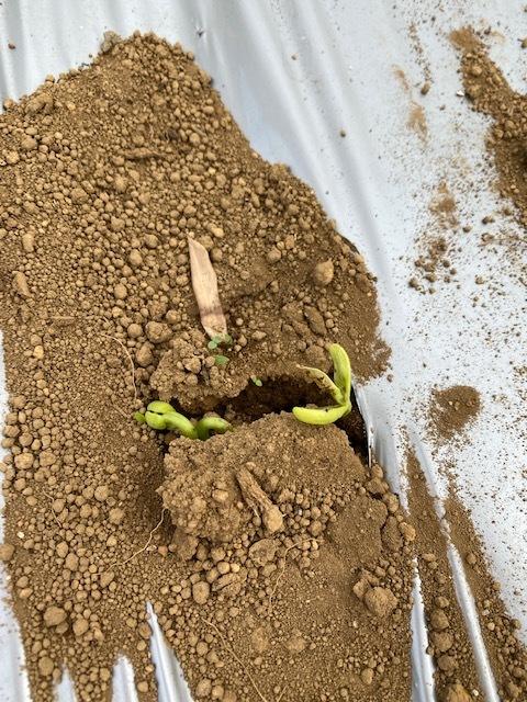 隠元豆の発芽・・カボチャの定植  _c0222448_11220636.jpg