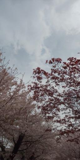 パンダ、春の散歩道。旬の桜と季節外れの紅葉⁉️_b0096957_18565262.jpg