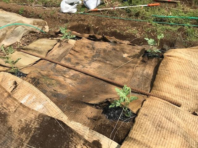 小玉スイカの苗と種生姜を植え付け4・1_c0014967_06554385.jpg