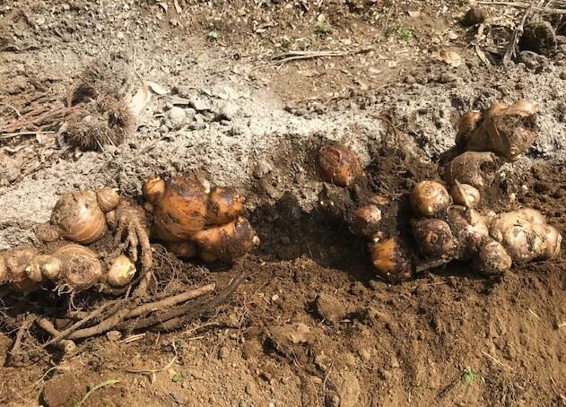 小玉スイカの苗と種生姜を植え付け4・1_c0014967_07000219.jpg