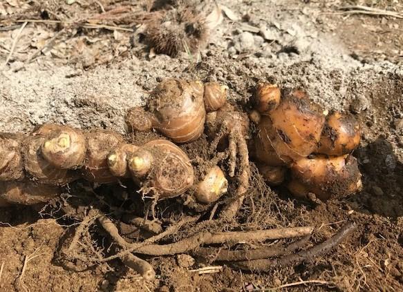 小玉スイカの苗と種生姜を植え付け4・1_c0014967_07001226.jpg