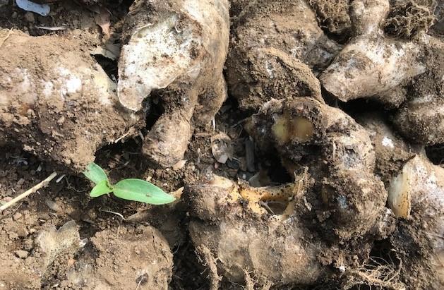 小玉スイカの苗と種生姜を植え付け4・1_c0014967_07033214.jpg
