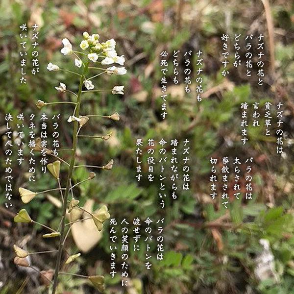 ナズナの花_a0197968_12002680.jpg