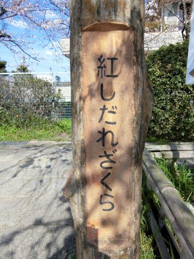 桜 第2弾_f0226671_10024264.jpg