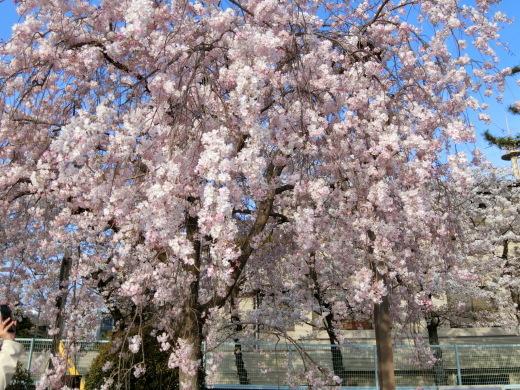 桜 第2弾_f0226671_10050120.jpg