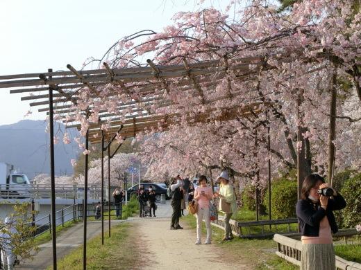 桜 第2弾_f0226671_10110151.jpg