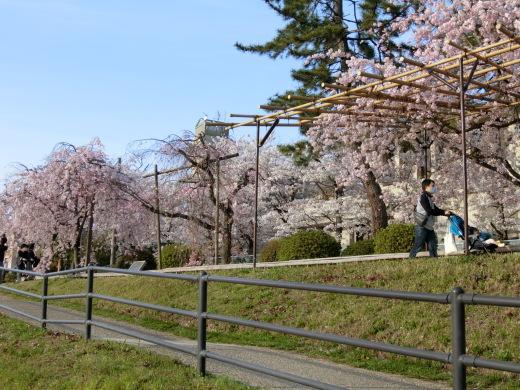 桜 第2弾_f0226671_10134291.jpg