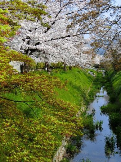 桜 第2弾_f0226671_10182900.jpg