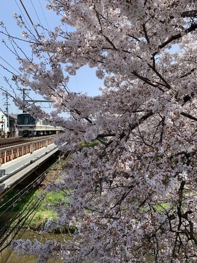 佐保川の桜_f0266284_11240972.jpeg