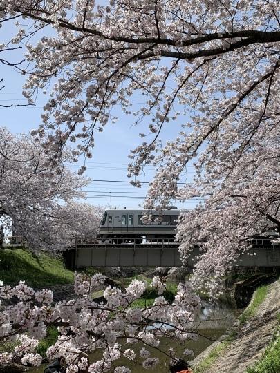 佐保川の桜_f0266284_11245677.jpeg