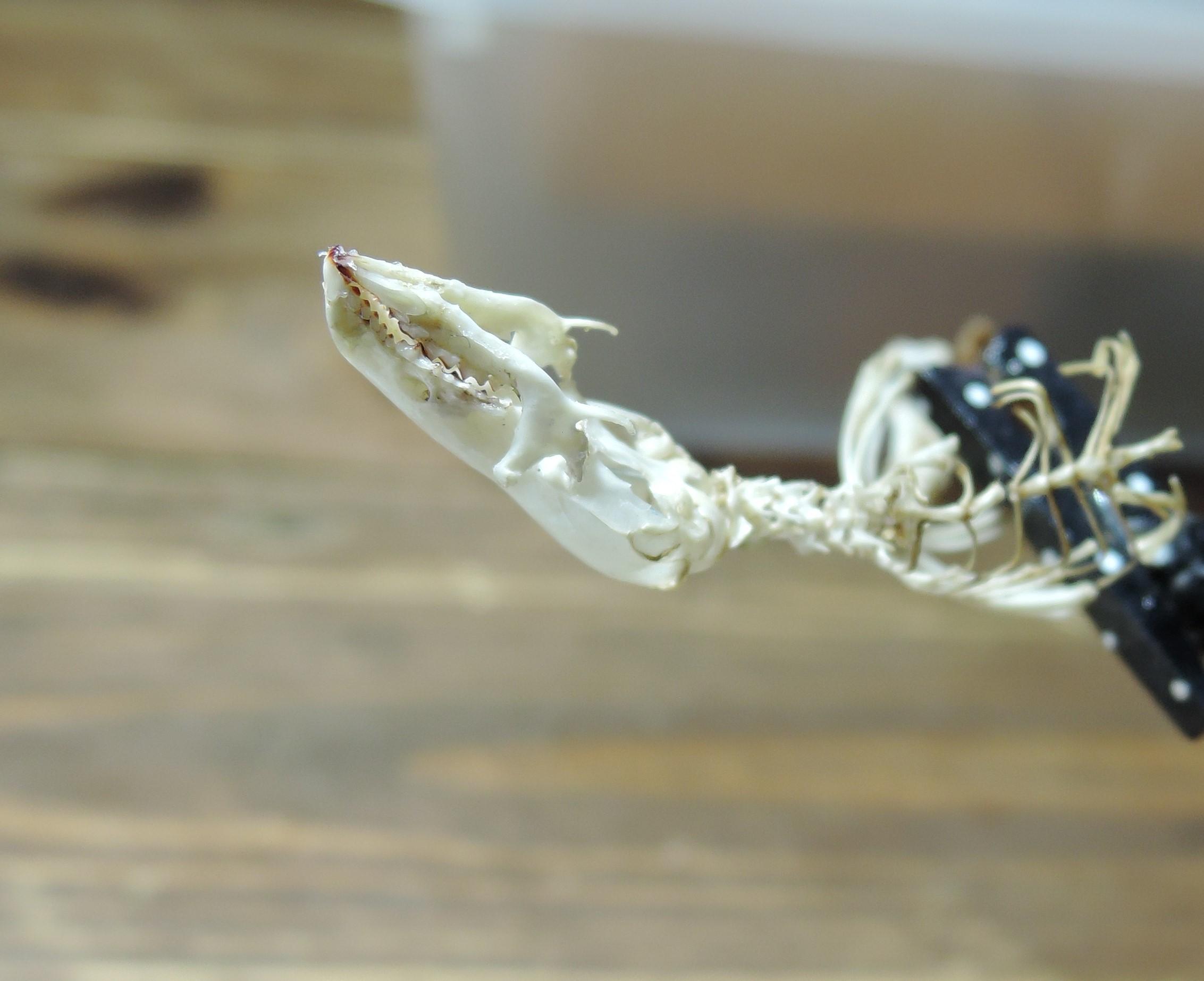 挑戦!トガリネズミ骨格標本・その3(閲覧注意)_d0154687_19472278.jpg
