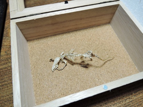 挑戦!トガリネズミ骨格標本・その4(閲覧注意)_d0154687_22332697.jpg