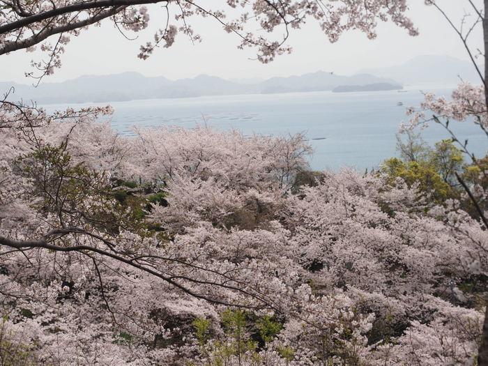 正福寺山公園の桜_c0116915_00503943.jpg